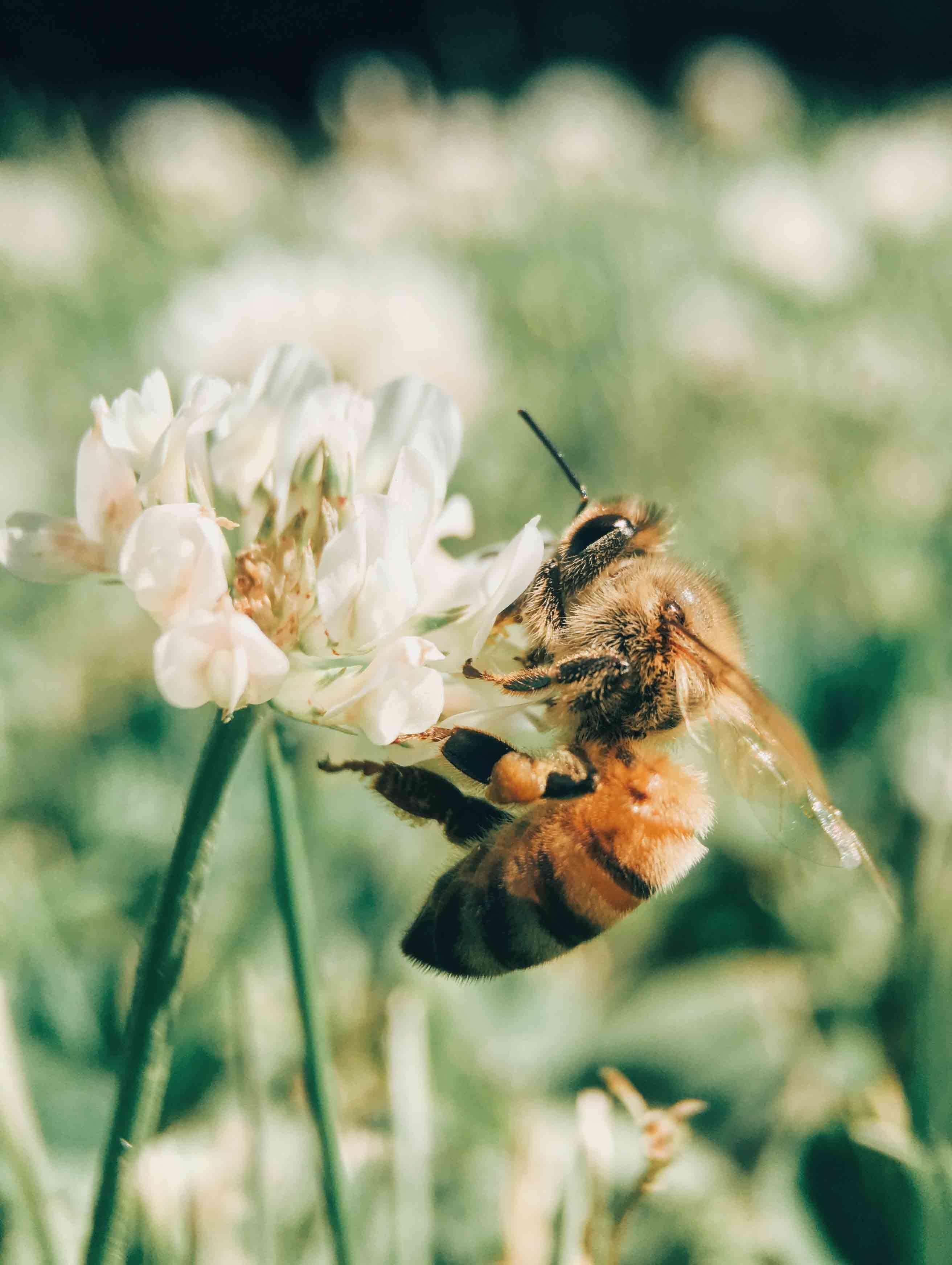 lisa brandao naturopathie abeille butinant